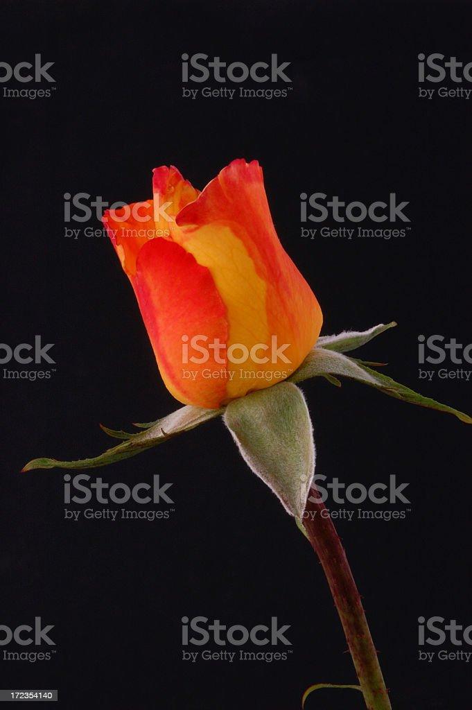 Orange Rose royalty-free stock photo