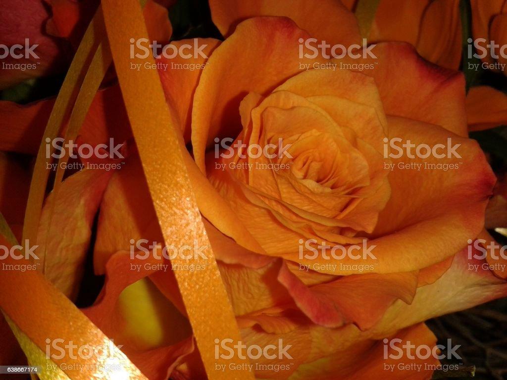 Orange Rose stock photo