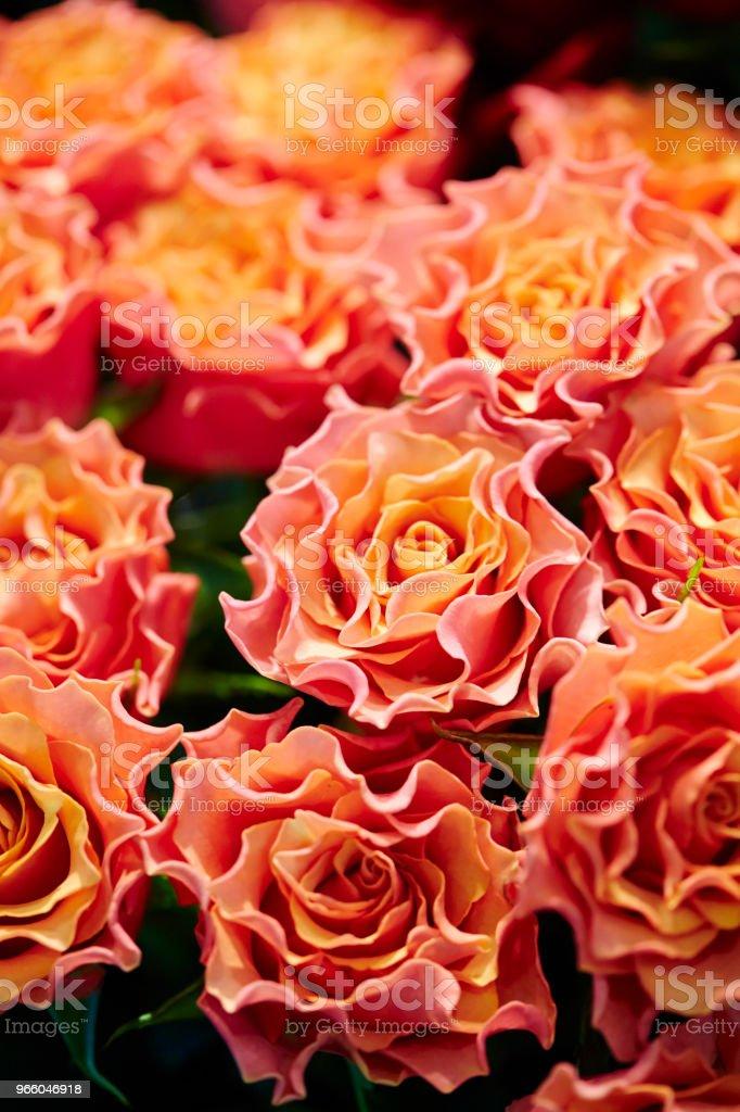 Orange rose - Royalty-free Beauty Stock Photo