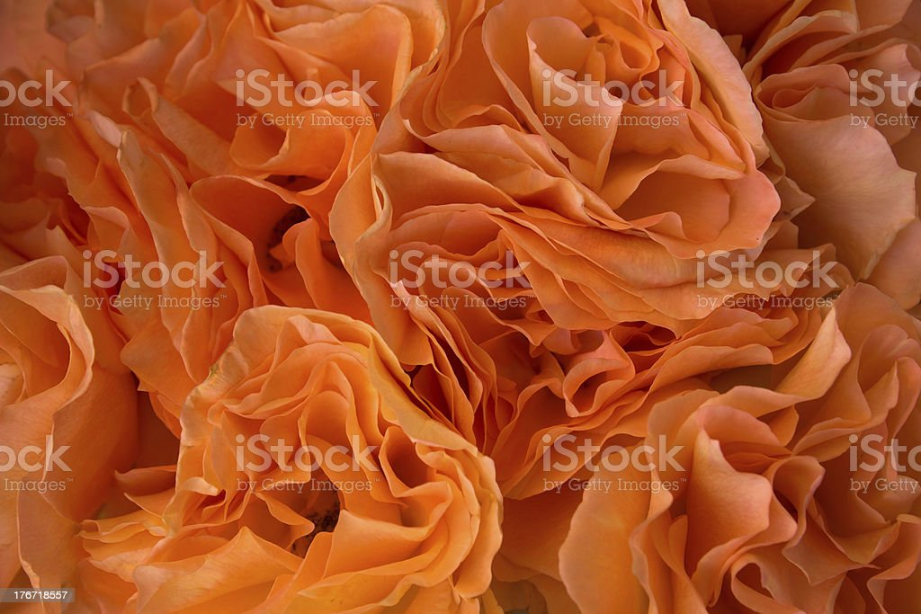 Orange roses background royalty-free stock photo