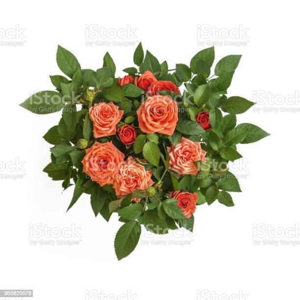 Orange roses bouquet surrounded by green leaves closeup top view of picture id955820578?b=1&k=6&m=955820578&s=612x612&h=c90wewg3wdfokt45xyczkjx5abxw9wxi0xu4ym2pb 0=