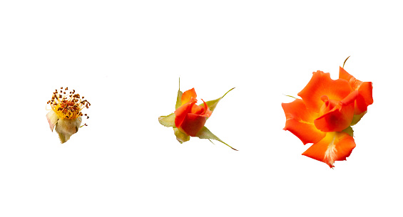 Orange roses isolated on white background. Three stages of flowers life cycle