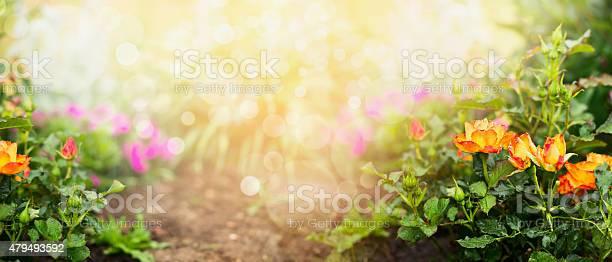 Orange roses on flowers garden background banner for gardening picture id479493592?b=1&k=6&m=479493592&s=612x612&h= mrhppsgekwebsunod3h4rrwdqc346h0ghebjhye8zg=