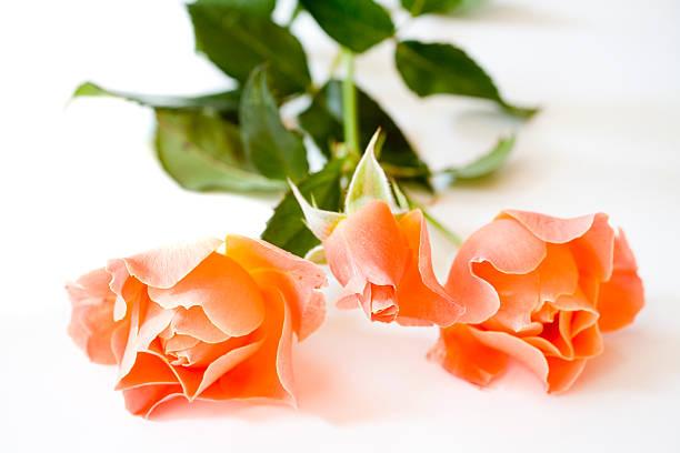 Orange roses on white background picture id92128316?b=1&k=6&m=92128316&s=612x612&w=0&h=6avpkzgvcgmthxgzl0ckp8jzzwxdpfykq9zsfapalpk=