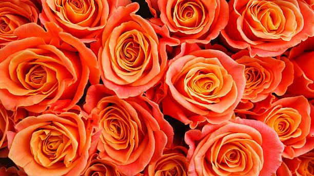 Orange Rosen – Foto