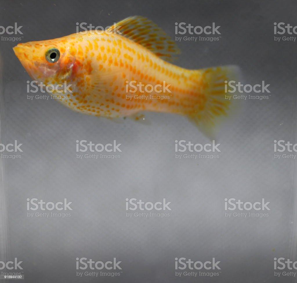 Orange Sailfin Molly Fish In The Water Glass Box Stock Photo More