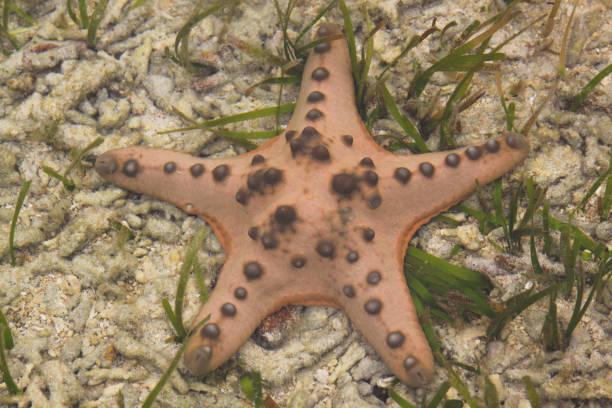Orange sea star on ocean floor with green algae stock photo