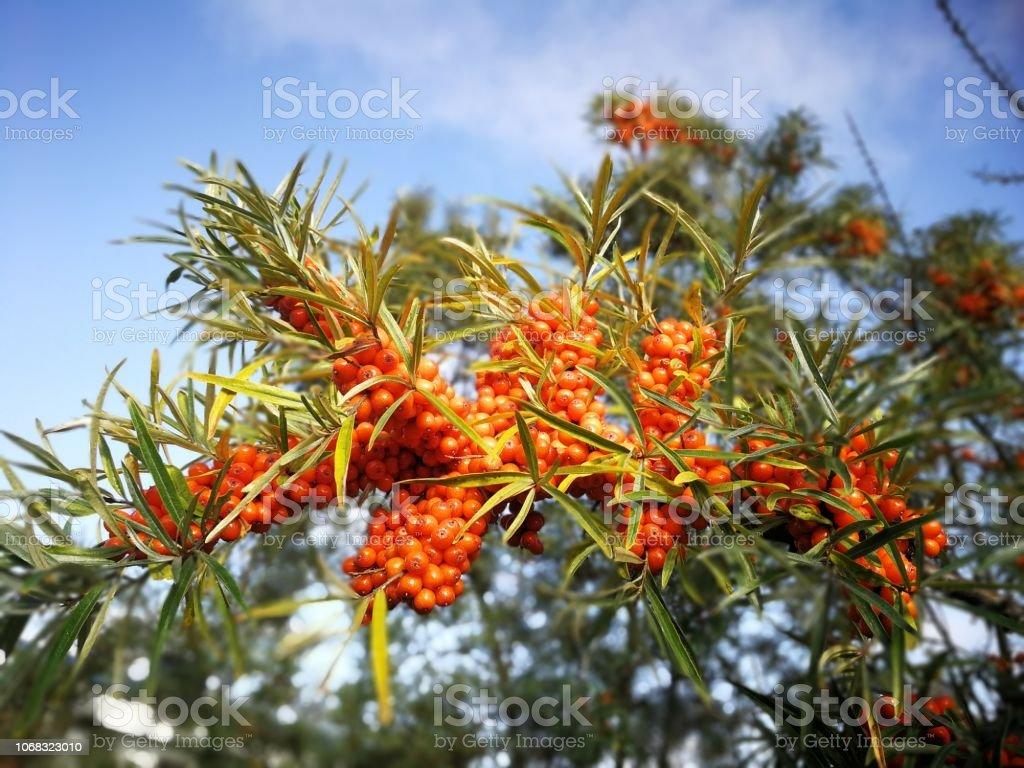 orange sea-buckthorn in autumn stock photo
