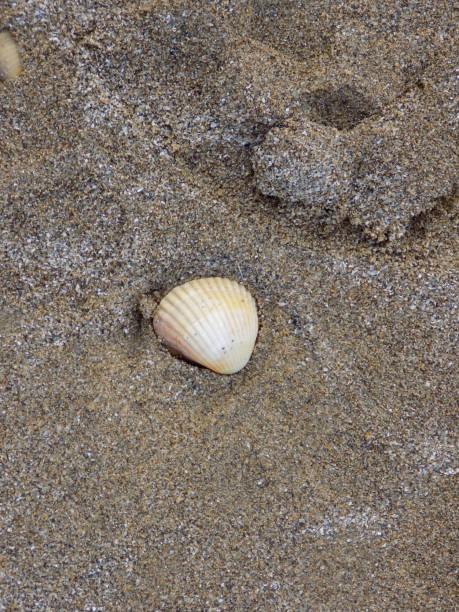 sinaasappel schelp in het zand op het strand - pink and orange seashell background stockfoto's en -beelden