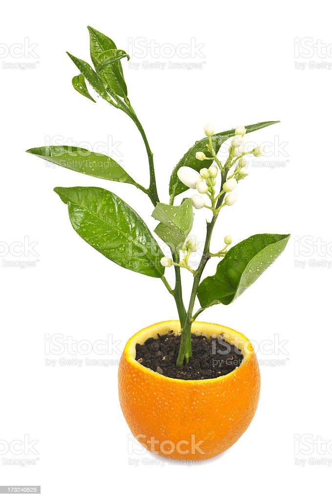 Orange seedlings royalty-free stock photo