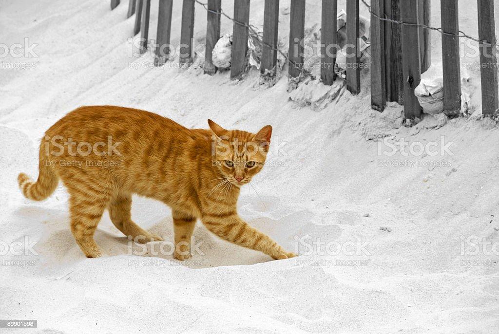 Оранжевый короткие светловолосую кошка Копать отверстие в белый песок Стоковые фото Стоковая фотография