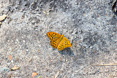 The silver-washed fritillary (Argynnis paphia) is a common and variable butterfly found over much of the Palearctic realm – Algeria, Europe, temperate Asia, and Japan.
