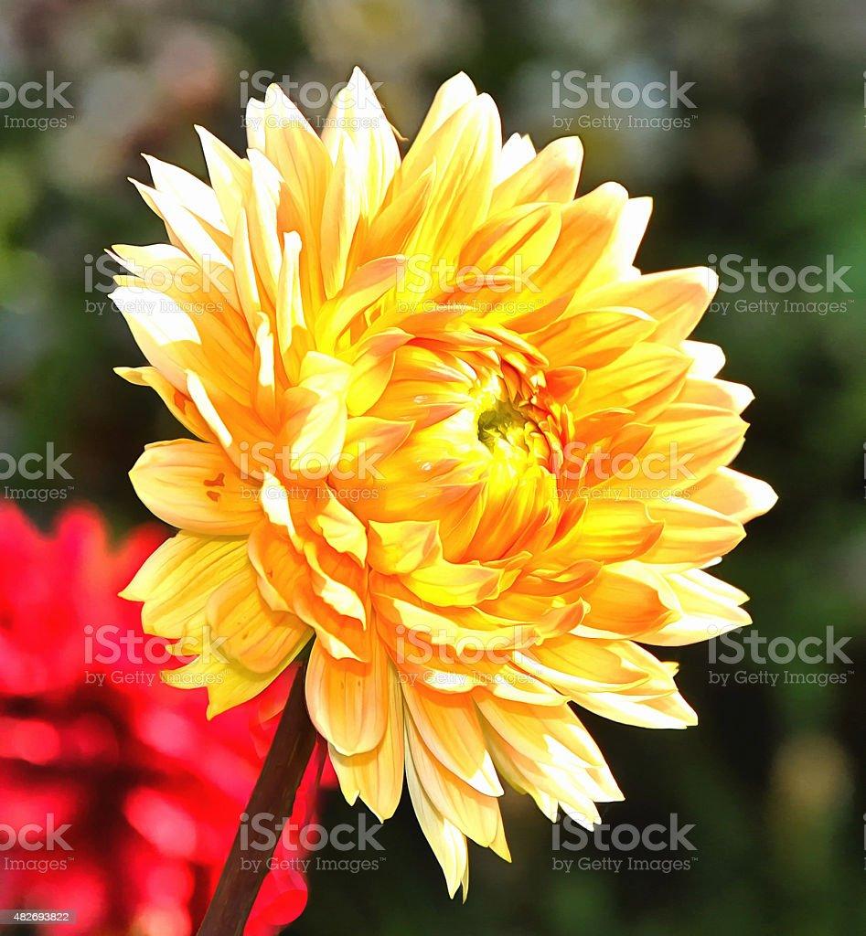 Orange single chrysanthimum blossum stock photo