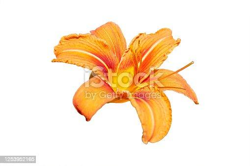 orange single lily isolated on white