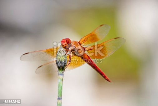 Dragonfly lands on horse tail reed.
