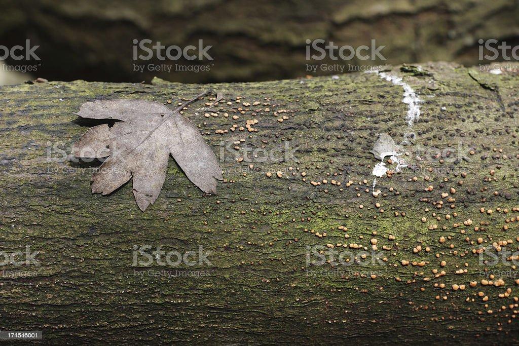 Orange slime mould spots on fallen trunk with hawthorn leaf stock photo