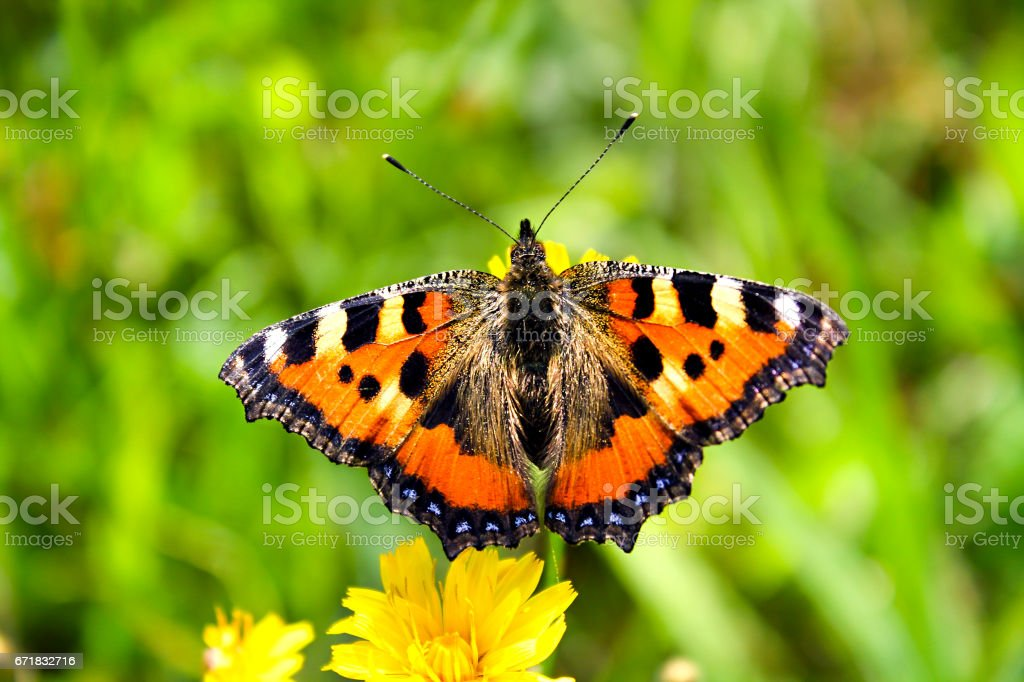 Orange small Tortoiseshell butterfly on a spring green meadow stock photo