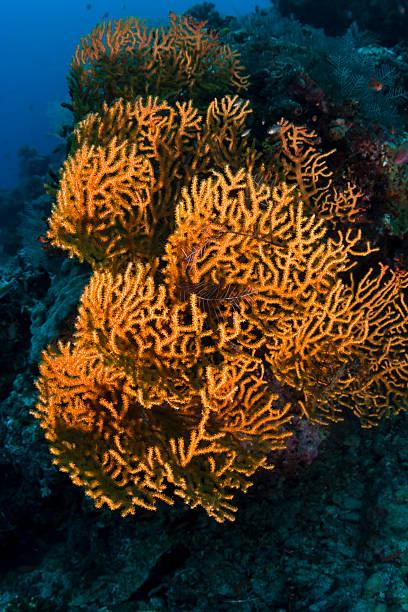 orange weichkoralle auf das riff in siapdan island, malaysia - coral and mauve stock-fotos und bilder