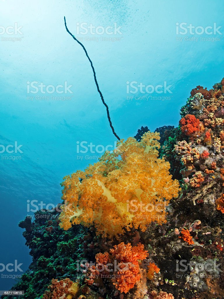 Orange soft coral, Orange Weichkoralle (Scleronephthya gracillimum) stock photo
