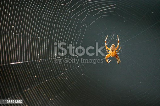 Orb Weaver spider awaiting his dinner after weaving his spiderweb on the back porch.