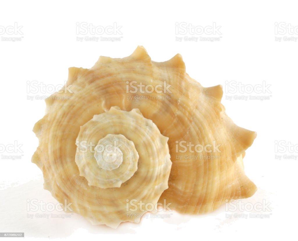 橙色主軸貝殼在白色背景上隔離 - 免版稅一群動物圖庫照片