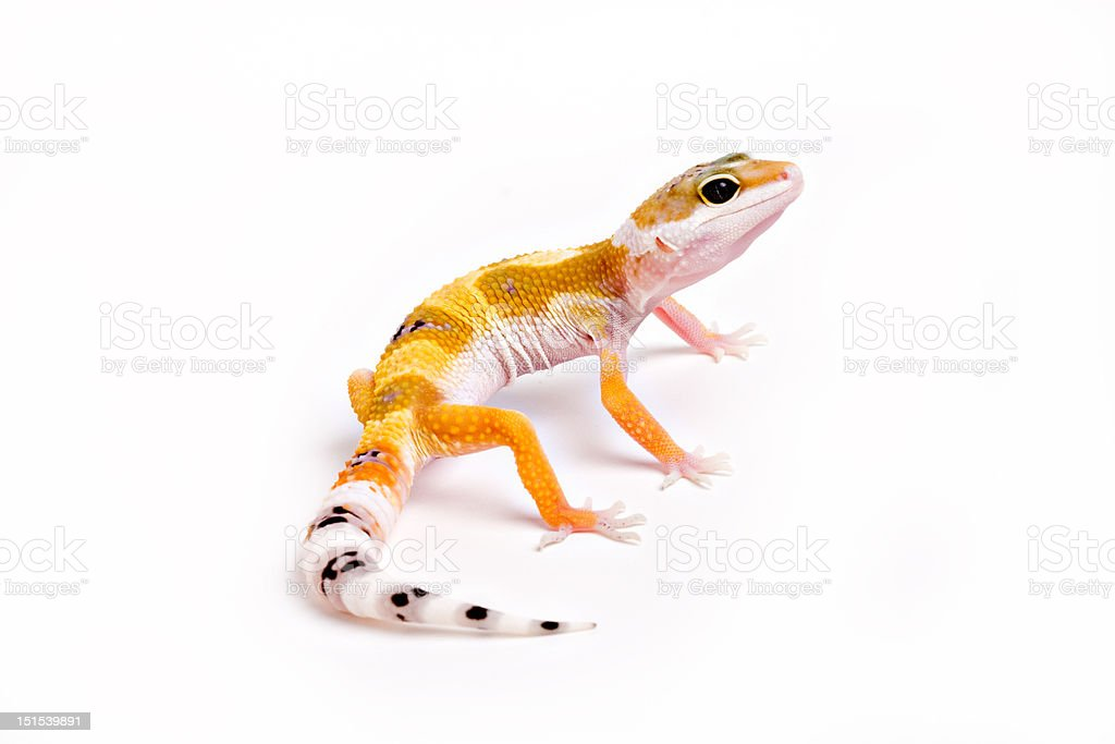 Orange Spotted Geck royalty-free stock photo