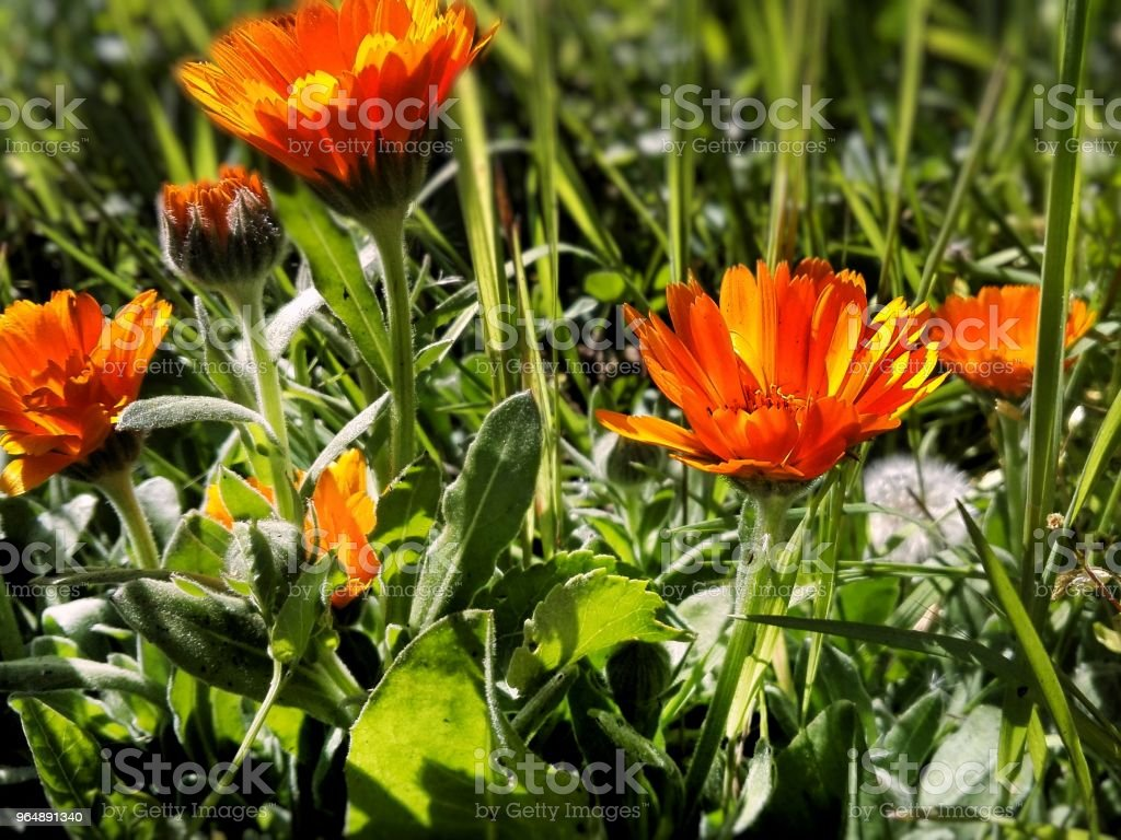 orange spring flowers royalty-free stock photo