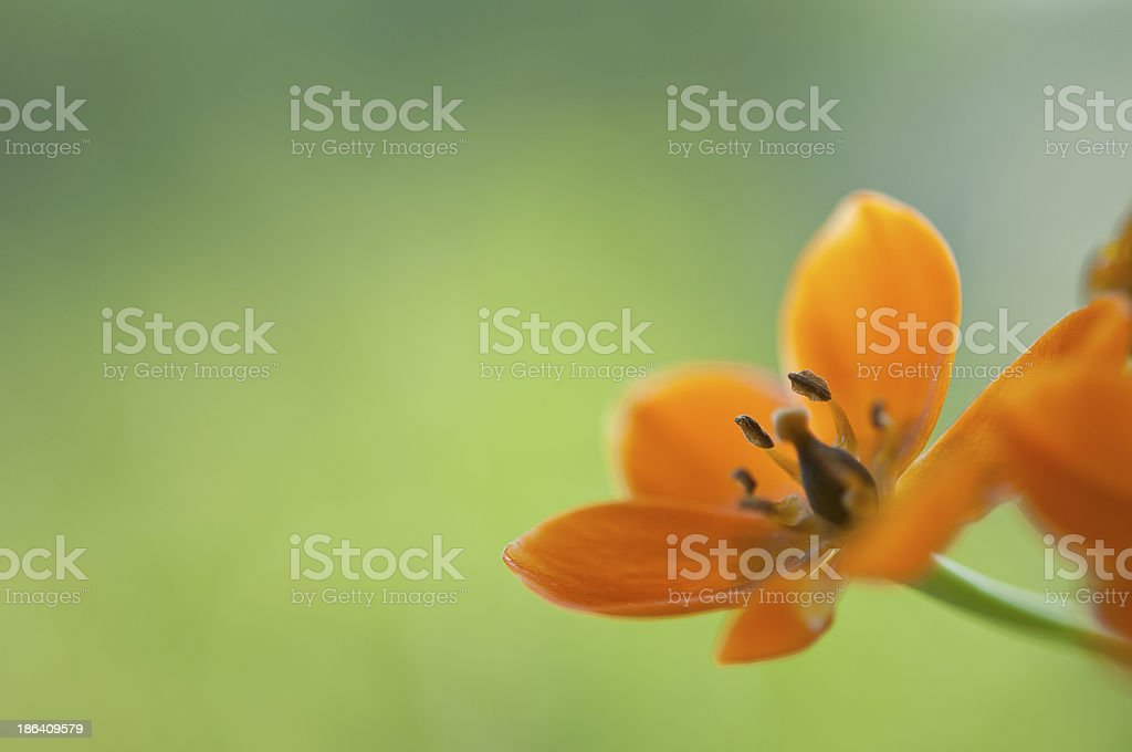 Orange Star Flower stock photo