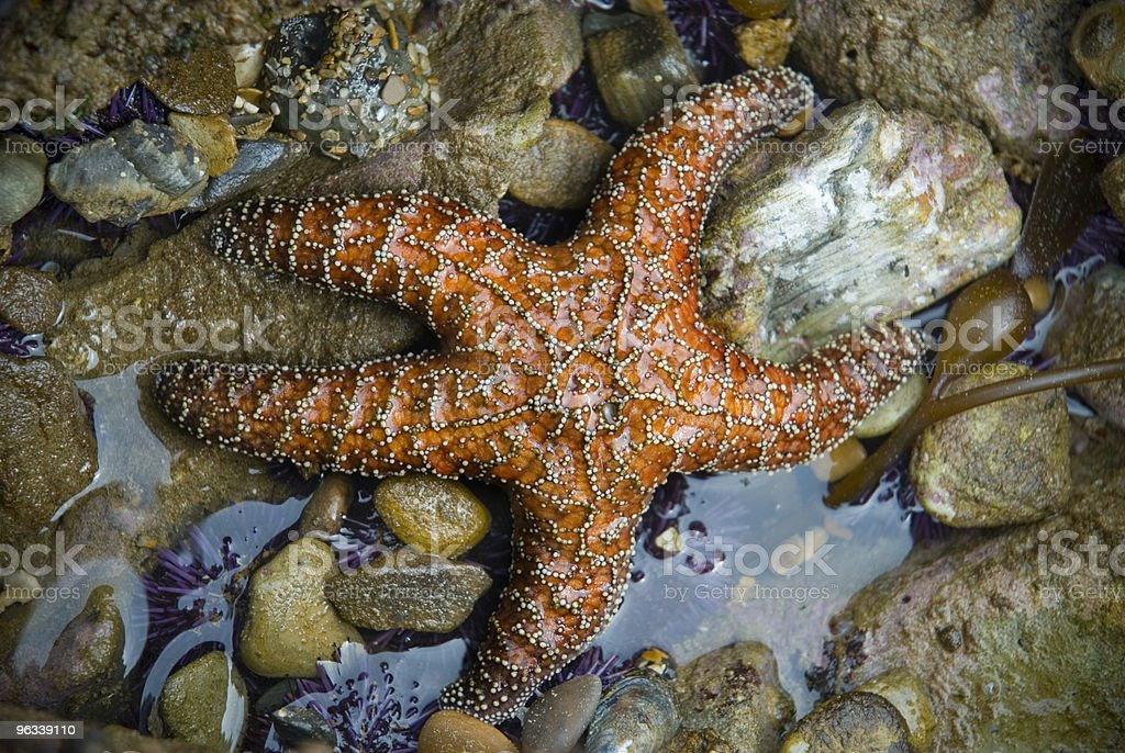 Orange Starfish royalty-free stock photo