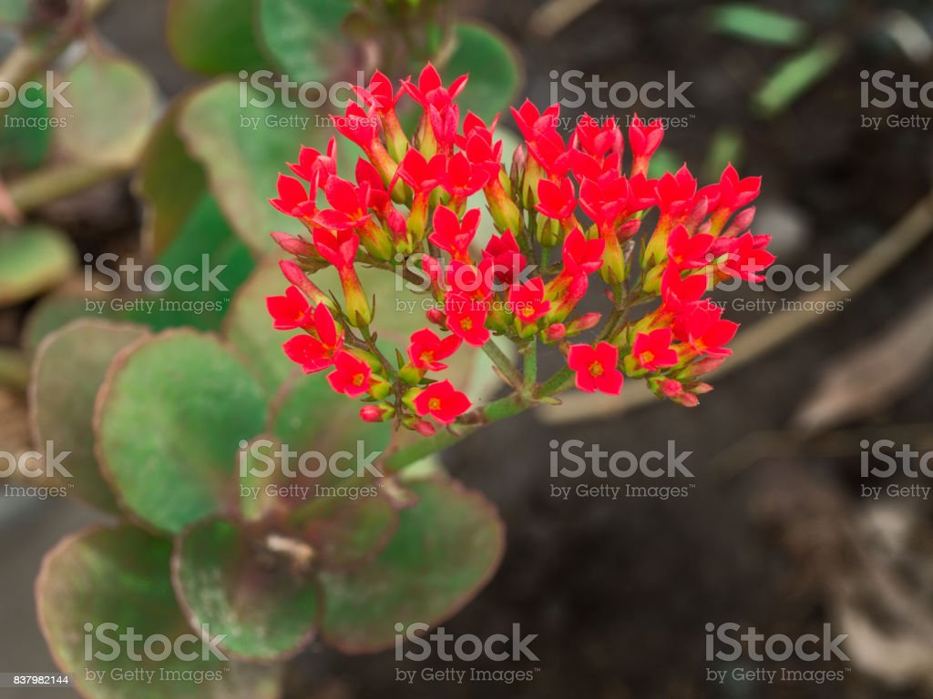 Orange Stone Roses Flowers stock photo