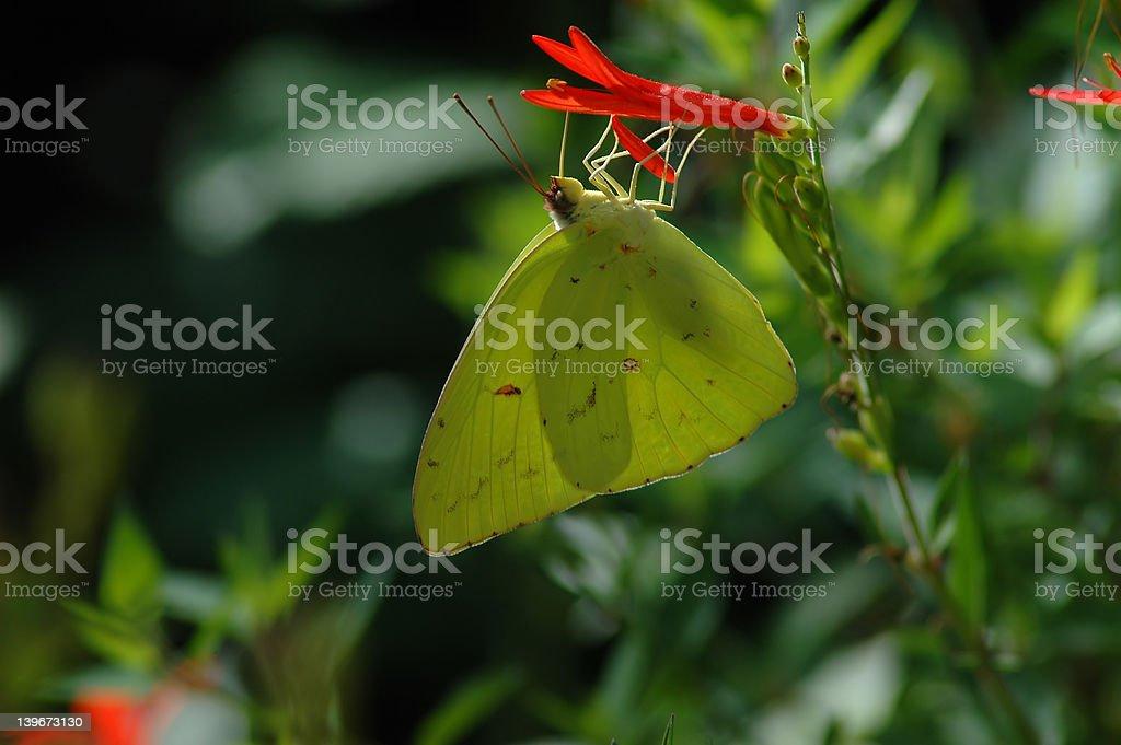Orange Sulphur Butterfly stock photo