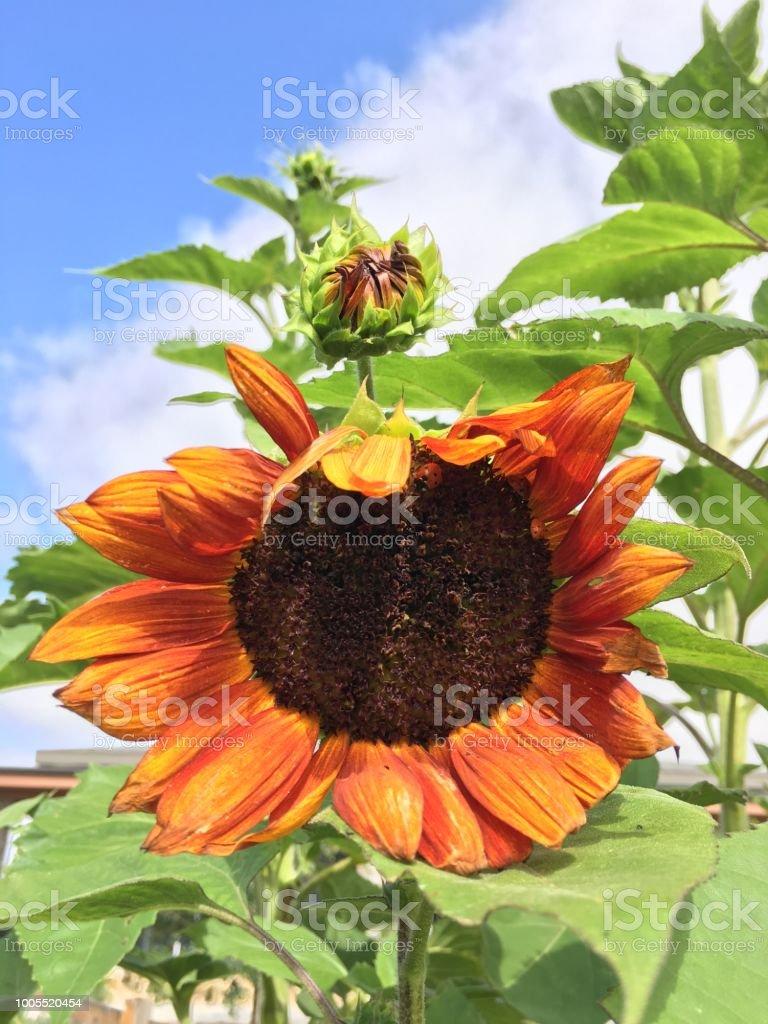 orange sunflower blooms under a vivid sky and container gardening