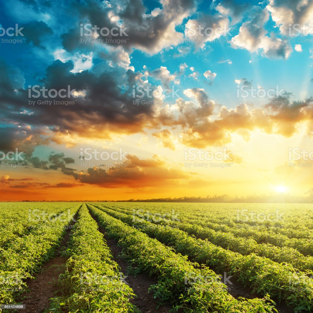 orange sunset and green agricultural field with tomatoes bushes stock photo