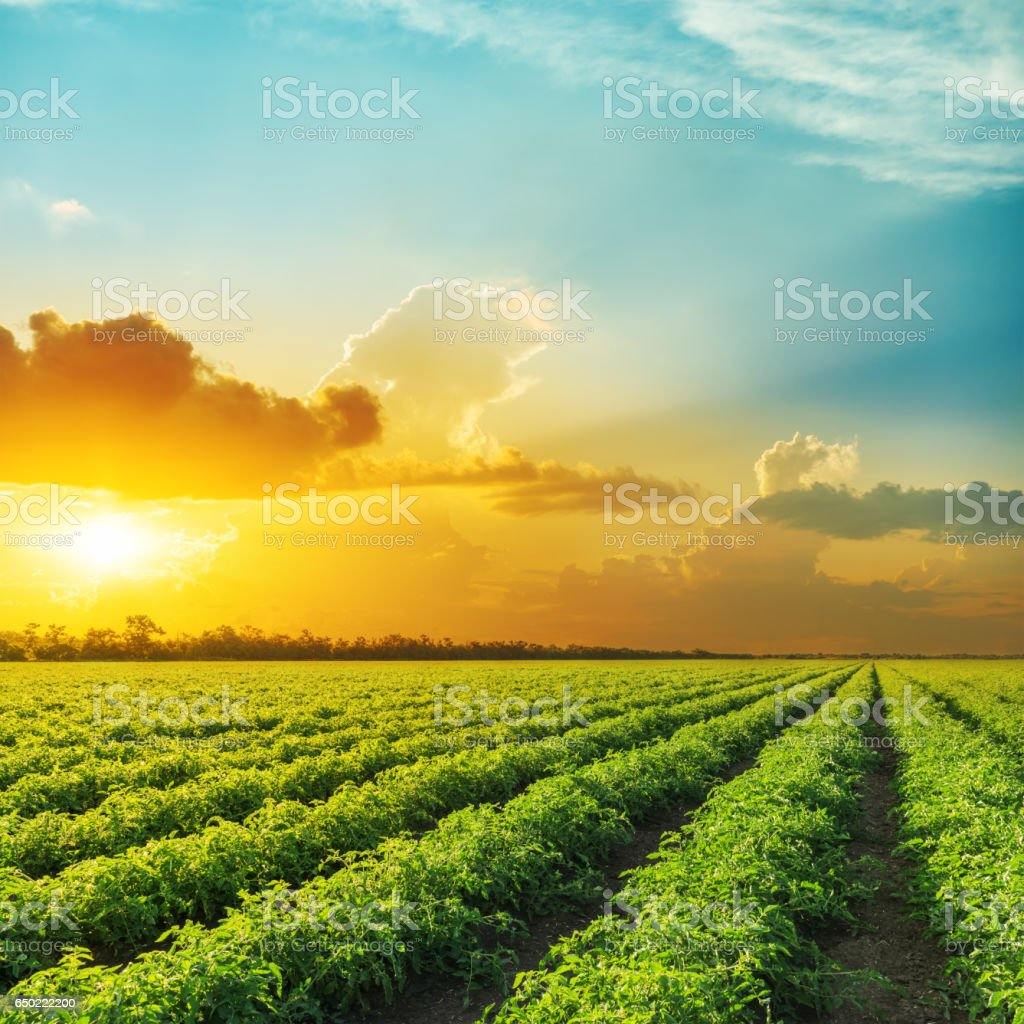 orange sunset in clouds over field with tomato bushes stock photo
