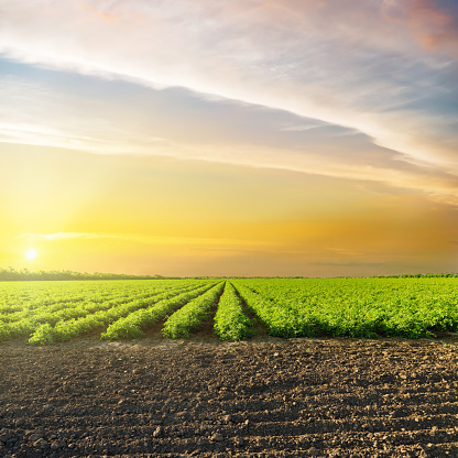 istock orange sunset in clouds over green agriculture field with tomatoes 694912736