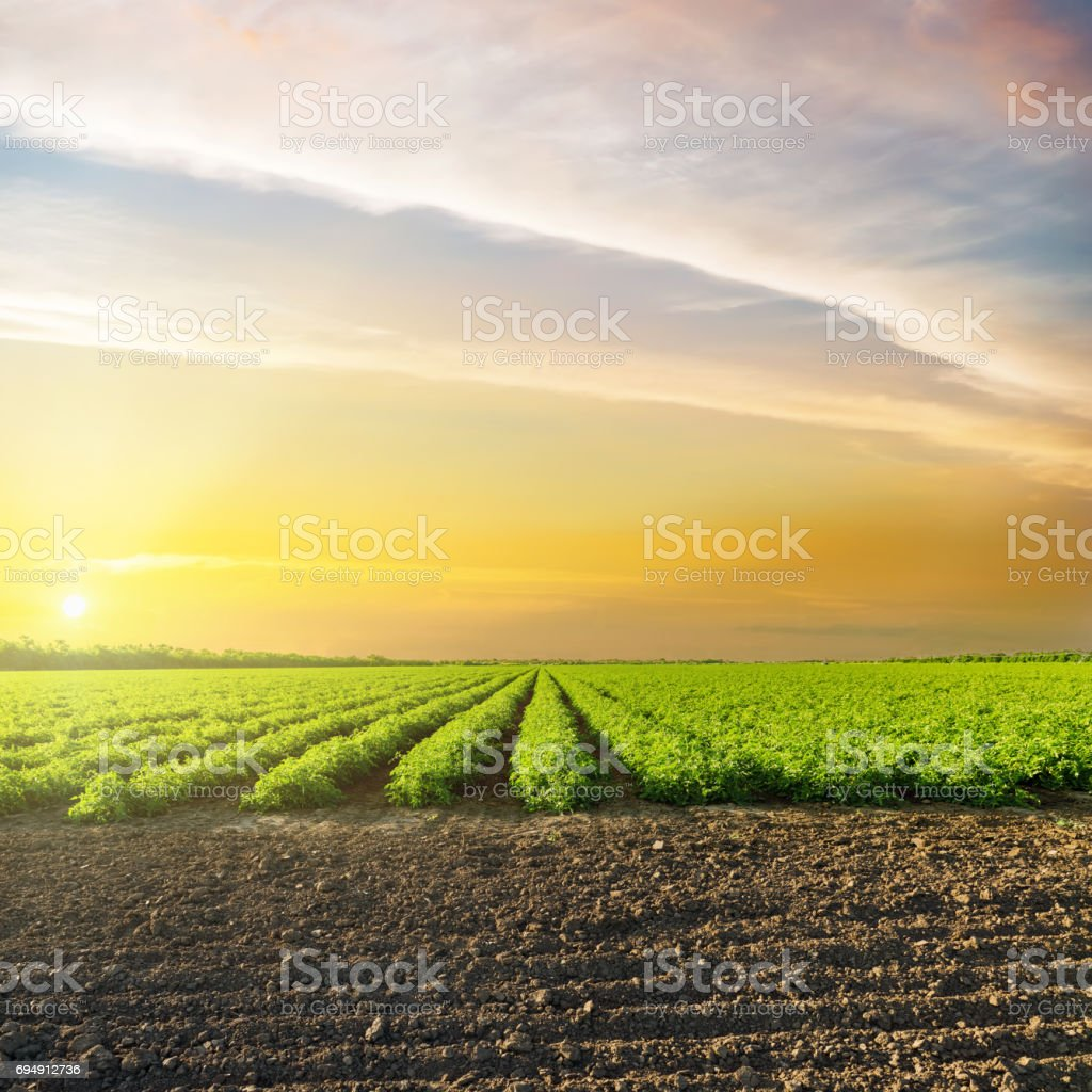 orange sunset in clouds over green agriculture field with tomatoes stock photo