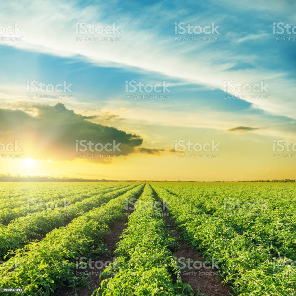 orange sunset over green field with tomatoes bushes stock photo