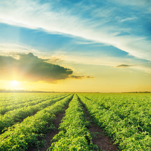 orange sunset over green field with tomatoes bushes - tomato field stock photos and pictures
