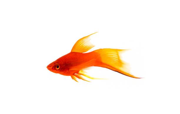 Orange Sword-tail Fish Isolated on White stock photo