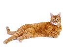 An Orange Tabby Cat Full Length on White Background