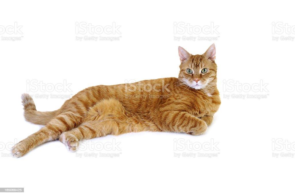 Orange Tabby Cat Full Length on White Background stock photo