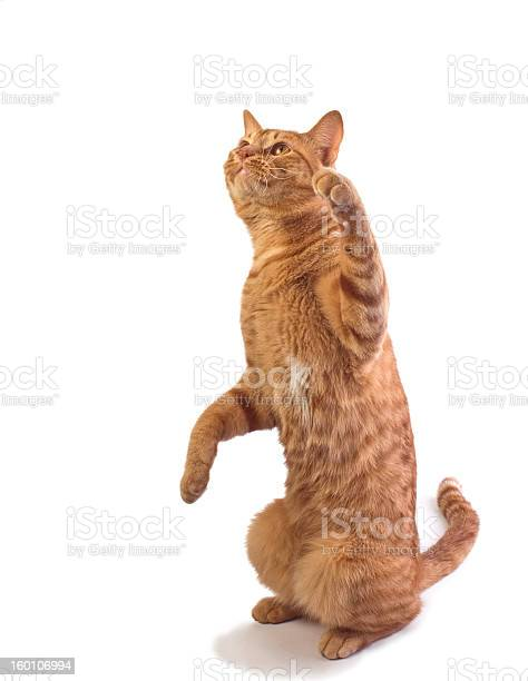 Orange tabby cat isloated picture id160106994?b=1&k=6&m=160106994&s=612x612&h=xv0hjyif9hgfupx00wszdwuyt0k0hcjnfgqwim1e3ra=