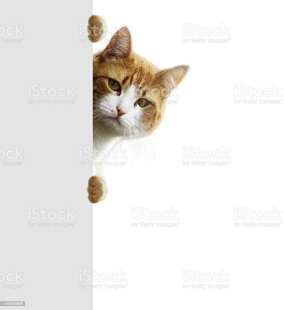 Orange tabby cat peeking out from behind wall royalty-free stock photo