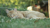 Portrait of an Orange Tabby Cat resting and sleeping in the green garden on a summer day