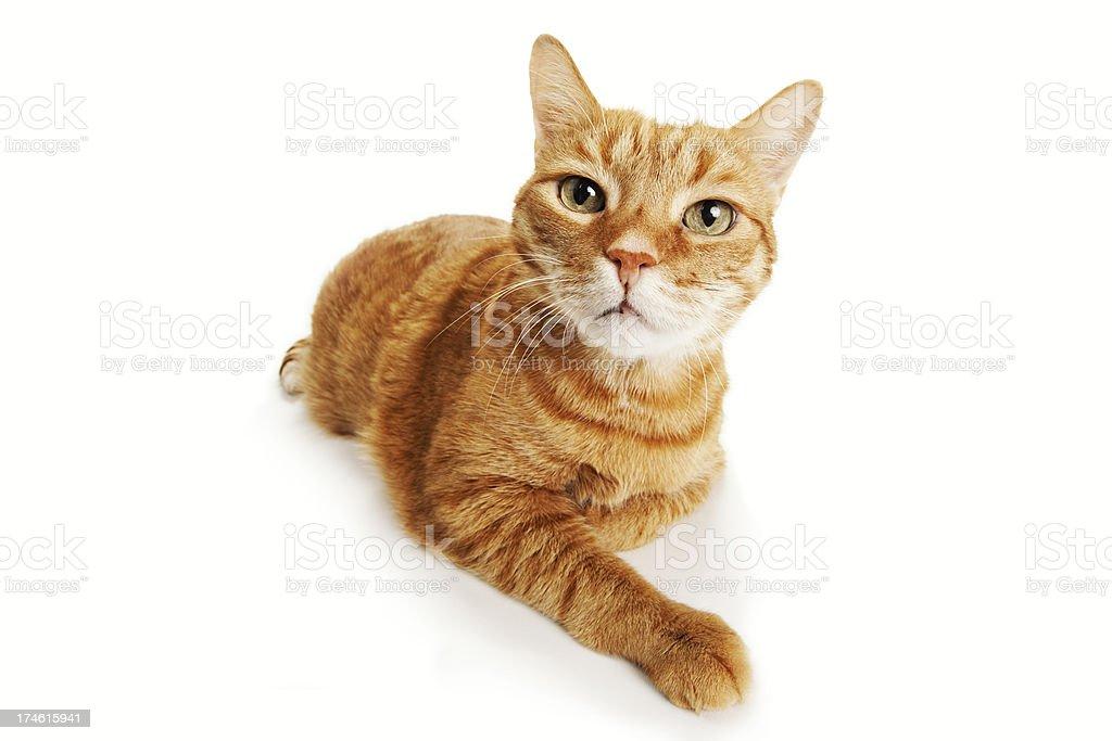 Orange Tabby Cat stock photo