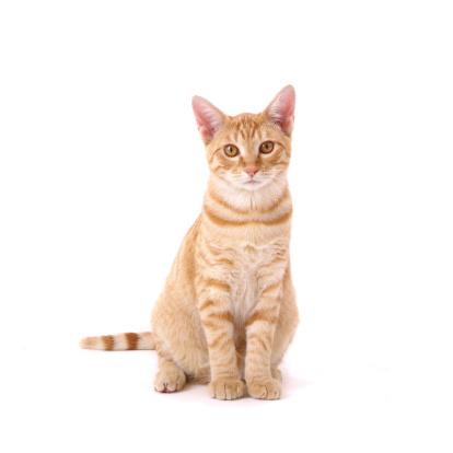 Orange Tabby Cat.