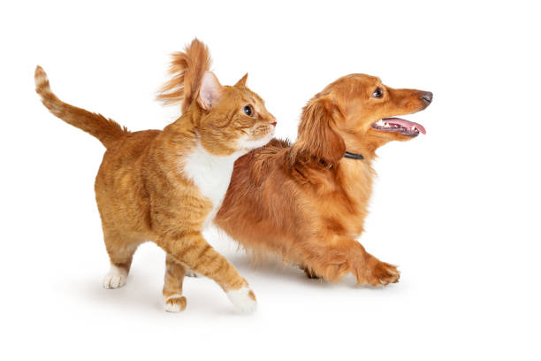 Orange Tabby Cat Walking to Side Paw Extended stock photo