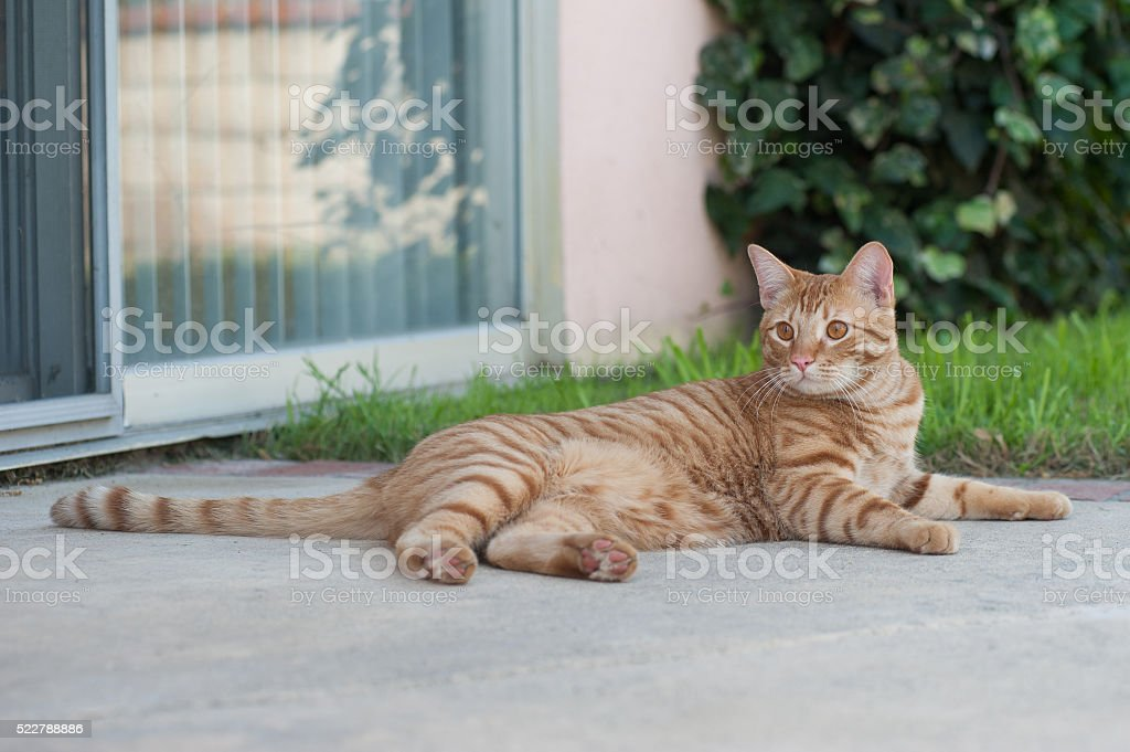 Orange Tabby comfortable on concrete stock photo