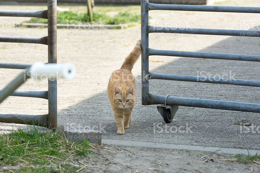 Orange tabby farm cat walking through horse grate stock photo