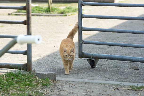 Orange tabby farm cat walking through horse grate stock photo